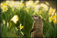 GROUNDHOG surveying a daffodil-dotted hillside.