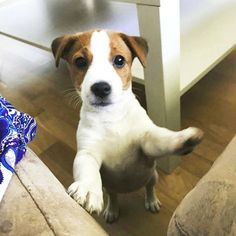 Jack Russell Terrier - A Dog in One Pack - Champion Dogs Jack Russell Terriers, Chien Jack Russel, Jack Russell Puppies, I Love Dogs, Cute Dogs, Bull Terrier Dog, Rat Terrier Puppies, Dogs And Puppies, Doggies