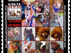 """6/26  Please Share! SUPER URGENT tap picture  BEAUTIFUL LIVES OF DOGS TO SAVE 6/25TO BE DESTROYED STARTING 12NOON PLEASE SAVE US WE ONLY HAVE A FEW MINS / HOURS TO LIVE BEFORE WE GO TO DOGGY HEAVEN THANK YOU PLEASE REPIN AND SHARE THIS INFORMATION  TIME IS CRITICAL THANK YOU IRISH : . Please share! The shelter closes at 8pm. Go to the ACC website( ASAP to adopt a PUBLIC LIST dog (noted with a """"P"""" on their profile) and/or work with a rescue group if you can adopt/foster ANY of our dogs on the…"""
