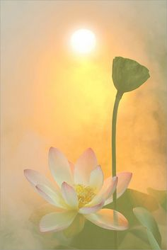 Lotus Flower Surreal Series: DD0A1391-1-1000 by Bahman Farzad, via Flickr