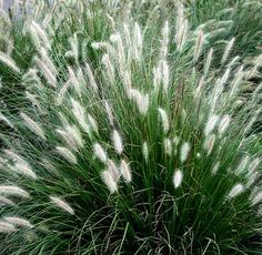 Little bunny ornamental grass, zones 5-9