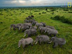 Os elefantes vagam por quilômetros de savana intacta no parque Queen Elizabeth, em Uganda. A população local chega a 2,5 mil indivíduos, um aumento dramático desde a época de abates ilegais na década de 1980.