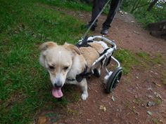 Rescued from the streets dragging her broken body behind her Paulinchen has now found a new life, with a wheelchair and a loving family in Switzerland