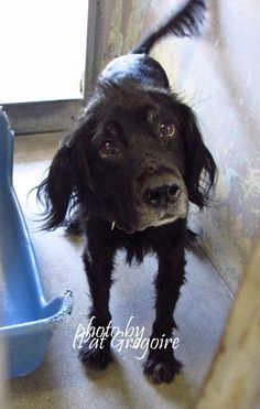 SENIOR ALERT!!! 9/3/2015 STILL THERE!!! #A4868408 I am a very sweet and friendly 8 yr old spayed female black Cocker spaniel mix. I came to the shelter as a stray on August 19. available 9/5/15 Baldwin Park shelter https://www.facebook.com/photo.php?fbid=1018249648186872&set=a.705235432821630&type=3&theater