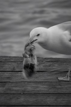 Venetian seagull