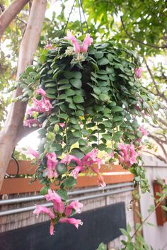 How to grow a lipstick plant care guide. Learn how much light, water, and fertilizer a lipstick plant requires. Read how to propagate and prune; learn answers to lipstick plant care questions. Flowering House Plants, Common Garden Plants, House Plants Decor, Plant Decor, Tropical Garden, Tropical Plants, Lipstick Plant, Plants For Hanging Baskets, Flower Pot Design