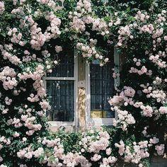 une couronne de roses autour de cette fenêtre, magnifique, romantique !