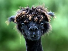 A newly sheared alpaca looks on as its stand in a pasture in Eugendorf, Austria. (Photo by Kerstin Joensson/Associated Press)