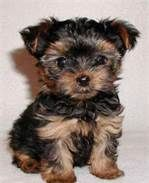 Full Grown Teacup Yorkie - Bing Images