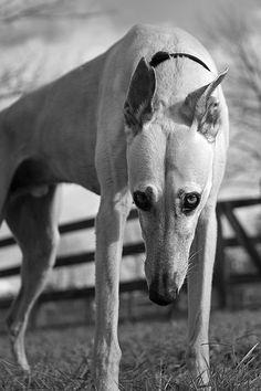 my Greyhound Pharaoh.