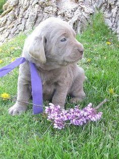 Lab puppy cuteness