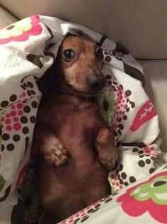 A Doxie surprise ♥