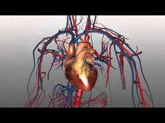 Heart Structure and Function Basics - Anatomy Tutorial Heart Structure, Structure And Function, Neck Muscle Anatomy, Gross Anatomy, Dental Anatomy, Circulatory System, Skeletal System, Respiratory System, Heart Anatomy