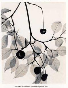 Cornus Kousa chinensis (Chinese Dogwood) Judith K McMillan x-ray photography