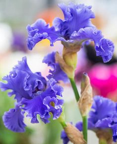 Image result for Irises
