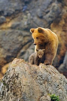 mamma Bear