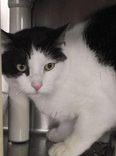 Meet Rudy # 150950, a Petfinder adoptable Domestic Short Hair-black and white Cat | Lebanon, OH | This is just one of the great pets at the shelter waiting for a home. We have dogs and cats...