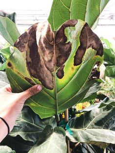 The Complete Guide To Caring for A Fiddle Leaf Fig - - If you want screaming success with your fiddle leaf fig, read on my friend! This guide is sure to give you all the info you need to see your indoor fiddle leaf fig THRIVE! Fig Leaves, Plant Leaves, Ficus Lyrata, Fiddle Leaf Fig Tree, Fig Leaf Tree, Inside Plants, House Plant Care, Plant Decor, Indoor Plants