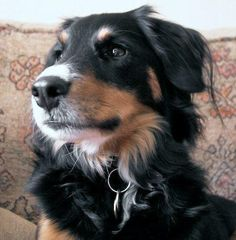 Golden Retriever/Boarder Collie Mix.  Need.  This.  Dog!!