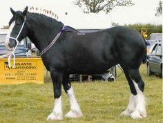 Shire draft horse Big Horses, Work Horses, Black Horses, Horse Love, All The Pretty Horses, Beautiful Horses, Animals Beautiful, Animals Amazing, Big Animals