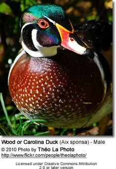 Wood or Carolina Duck (Aix sponsa)