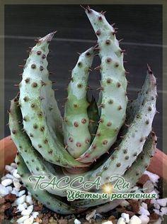 Алоэ Марлота (Aloe marlothii Berger.) - Растение пришло к нам из южной Африки. В дикой природе это растение способно разрастаться в целые леса