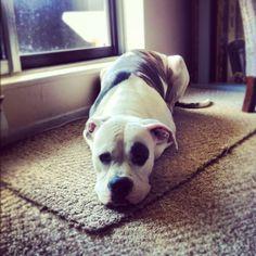 Mya the American Bulldog :)
