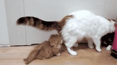 mascotas felinos