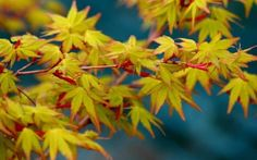 6' tall 5' wide part shade Acer palmatum Calico 1 - Year Graft
