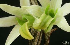 Dendrobium scabrilingue - Flickr - Photo Sharing!