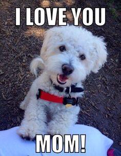 Poochon. Maltipoo. Loves mom. Dog