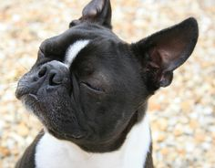 A Boston Terrier called Toby