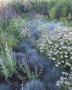 "118 Likes, 10 Comments - Homestead Design Collective (@homesteaddesigncollective) on Instagram: ""Nigella hispanica 'African Bride' + Blue Fescue in our meadow planting at @sunsetmag 's test…"""
