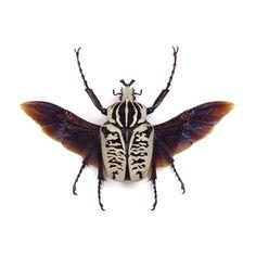 Goliathus albosignatus  Goliath Beetle
