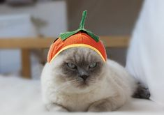 Top 10 Funniest Cats Dressed as Pumpkins World Cat, Darth Vader, Cat Dresses, Halloween Cat, To My Daughter, Funny Cats, Creepy, Star Wars, Animals