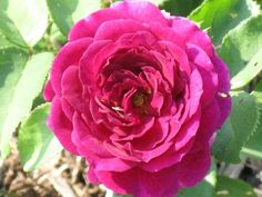 Ebb Tide rose seems to be biggest and darkest when the weather is cooler with old-fashioned cupped blossoms of light lavender-mauve with intriguing smoky overtones.