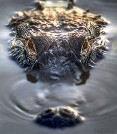 Gator byFrank Delargy