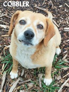 ADOPTED! Tag# 12610 Name is Cobbler Beagle Mix Female-unsure of spay Approx. 6-7 years old Friendly girl who goes with the flow!  Located at 2396 W Genesee Street, Lapeer, Mi. For more information please call 810-667-0236. Adoption hrs M-F 9:30-12:00 & 12:30-4:15, Weds 9:30-12:00 & Sat 9:00-2:00  https://www.facebook.com/267166810020812/photos/a.920475758023244.1073742208.267166810020812/920476654689821/?type=3&theater