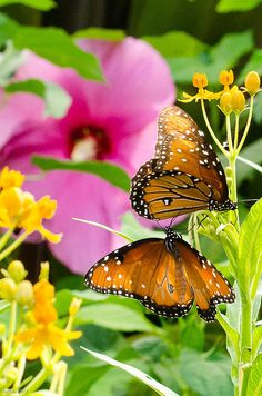 Queen butterflies (Danaus gilippus)