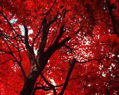 Red Tree Photo Fine Art Photography Scarlet Red by happeemonkee, $35.00