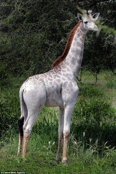 Omo, the white giraffe. Living with her giraffe family in Tanzania.