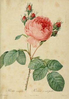 Les Roses vintage printable