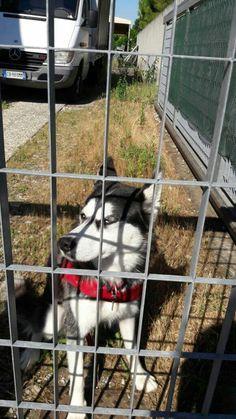 Ho visto questo Husky nei pressi dell'azienda della mia scuola, e ho dovuto per forza fotografarlo *^*
