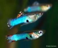 Japanese Blue Endler Guppies at Aquarist Classifieds