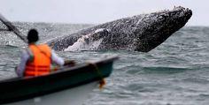 Temporada de avistamiento de ballenas jorobadas en Buenaventura Las fotos fueron tomadas en el Parque Nacional Natural Uramba Bahía Málaga, en la Costa Pacífica colombiana.