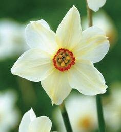 Pheasants Eye 40cm April to May Narcissus 'Pheasant's Eye' sarah raven says  is a classic. It is highly scented and late flowering, excellent in a border or grass. For general reliability and all round beauty and scent, it almost always wins our narcissi trials.