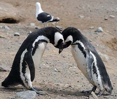 Pingüino on Magdalena Island, Chile