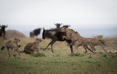 A coalition of cheetah tries to take down a wildebeest in the Masai Mara. African Animals, African Safari, Tanzania, Kenya, Kilimanjaro, Wild Nature, Large Animals, Leopards, Africa Travel