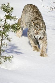 Canada Lynx walking down a snowy hill | © Paul Burwell Photography