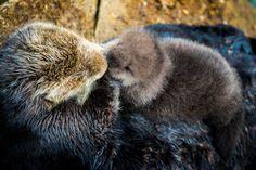 Sea Otter gives birth to newborn pup in Monterey Bay Aquarium Tide Pool. Photo: Tyson V. Rininger, Monterey Bay Aquarium / ©Monterey Bay Aquarium Monterey Bay Aquarium, Baby Sea Otters, Amazing Animal Pictures, Animal Pics, Otter Pup, Baby Animals, Cute Animals, Carmel Beach, Animal Reiki